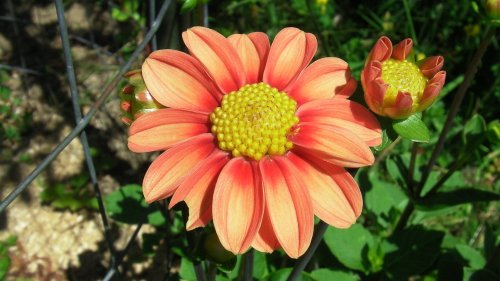 Sunspot...a mignon dahlia creation that Kathy has let us grow for our bees.