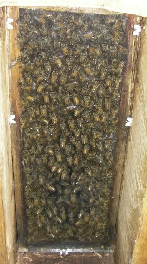 August 10, 2014...the day after the swarm, shows the bees on the observation window.  They've got to build their own comb so they are hanging out here for a while.