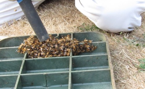 After some preliminary issues, the bee vac performed admirably, gently removing bees from the inside of the valve box lid.