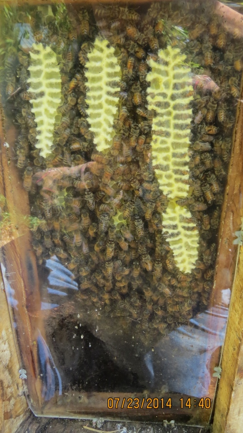 July 23, 2014...The observation window is filled with bees and comb.