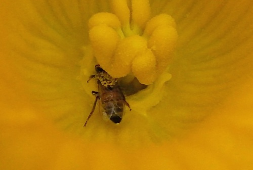 Honeybee sipping from nectar fountain of the female squash blossom...rubbing pollen upward onto the stigma (?)