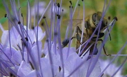 As soon as the nectar flow quit (blackberries), the bees started working the Phacelia.  It was then that I noticed the blue pollen. I can see why they preferred blackberries...these blossoms are hard to work.
