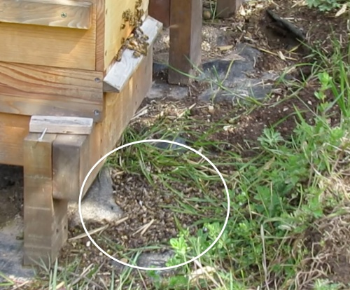 A pile of dead bees that had been dumped out of the hive sometime earlier. This picture was taken from a video I shot in April. The dead bees had been there for a while, but I just couldn't bring myself to photograph them. Too depressing.  It's possible these are all drones with deformed wing virus. I wish I had looked closer and examined them.   I guess I should be happy that the other bees cleaned them out.