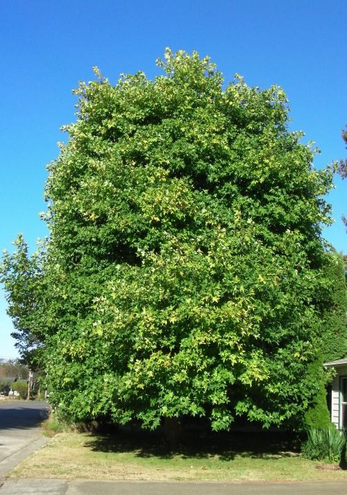 September 10, 2014...Tulip tree is starting to turn color.