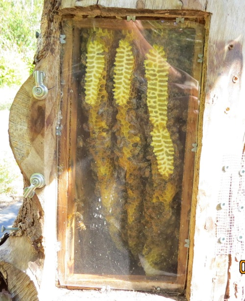 August 8, 2014...Bee-atrice through the observation window exactly one month ago.  This shows how much comb was built in the two months the wild swarm occupied her.  This is the day after she had swarmed.