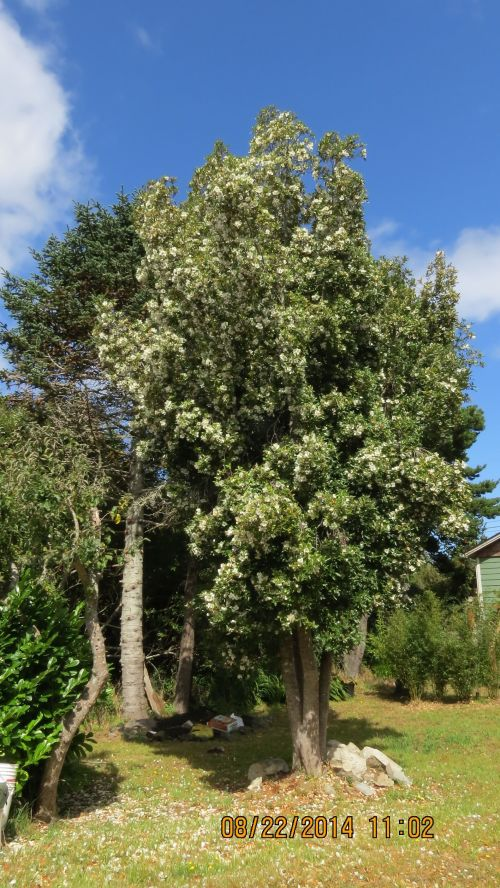 August 22, 2014...I finally visited Barbara's Mock Orange tree. It was everything she said it was. Covered in white blossoms with bees all over it.  Note:  this might NOT be a Mock Orange.  See below what Carol Quish of University of Connecticut had to say.