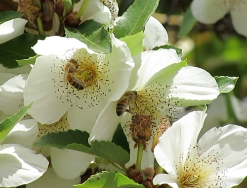 Two bees on Barbara's Eucryphia Tree