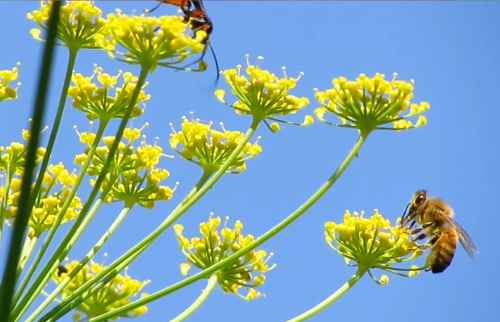 The honeybees have been visiting the fennel since early September.