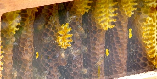 July 14...this is a shot at the middle box showing very few bees.  I'm just waiting for the robbing to start, but after tilting the hive, I realize there's really no honey to rob.