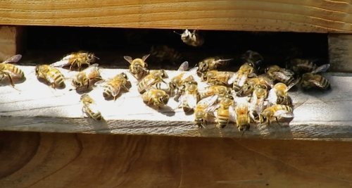 June 11...There's been a small group of bees milling around the entrance for weeks.