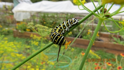 October 8...more caterpillars seen last week and today.  I hope to see many Swallowtail butterflies next spring.
