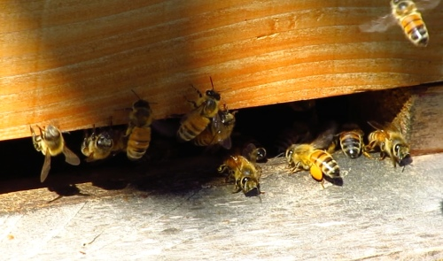 September 28...the activity around the hive has picked up dramatically.  No more milling about.  Bees are bringing in pollen.
