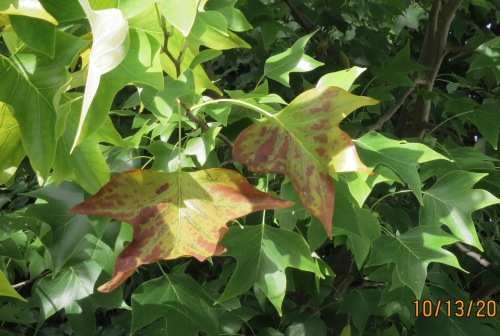These leaves are starting to lose their chlorophyll enabling the other colors to be visible.