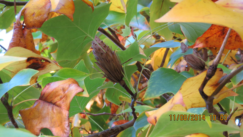 Tulip Tree   Adventures in Natural Beekeeping