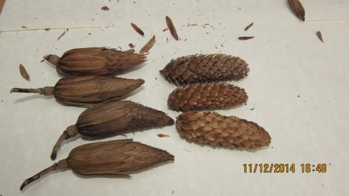 I was struck by how similar the Tulip tree seed pods were to my backyard spruce tree 'pine cones.'