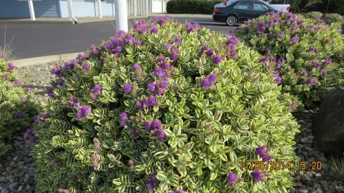 November 5, 2014...On an unusually warm November day, I spotted these hebes growing in front of Bill Sweet Insurance Agency.  The bees were loving it.