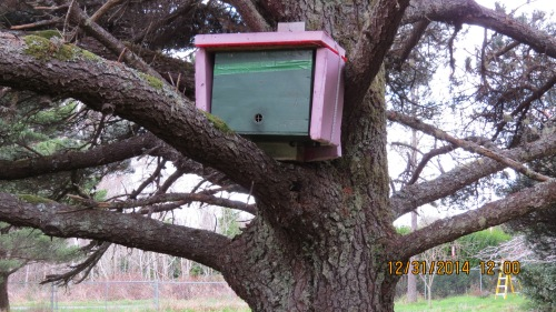 This hive in the tree swarmed three times during summer.  Two went to Bob and one we transferred into Del's hive.