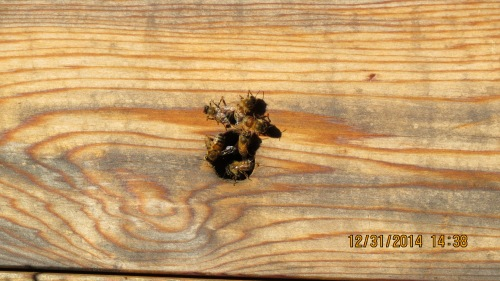 This hive catches the afternoon sun.  Some bees responded to the warmth.