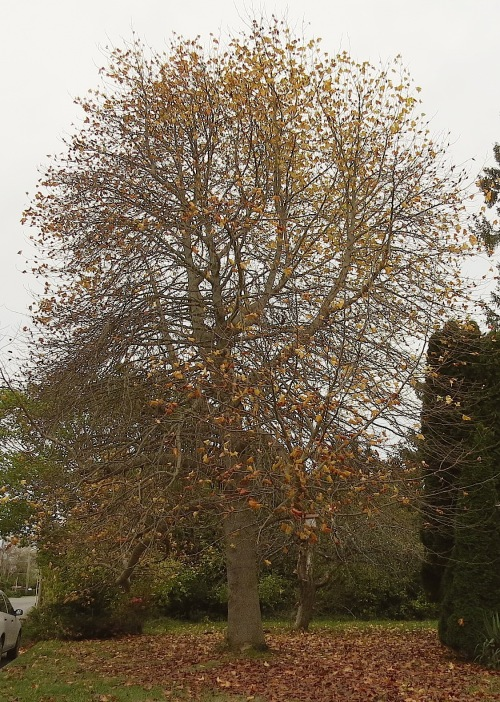 On a bleak December day, we set out to rake in the golden harvest of the Tulip tree.