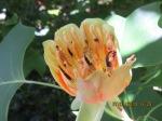 12 Old blossom,7-1-14.JPG+