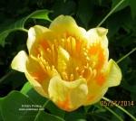 70 Tulip tree blossom, open, ©, cropped,5-27-14.JPG++++