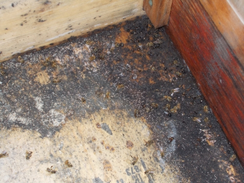 Close-up of the Black Death and some of its victims.  The hive was always very moist inside.  Maybe next time I'll slant the floor, or drill some holes, or make some other provision for drainage.
