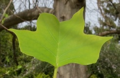April...The shape of the leaf identifies the Tulip tree