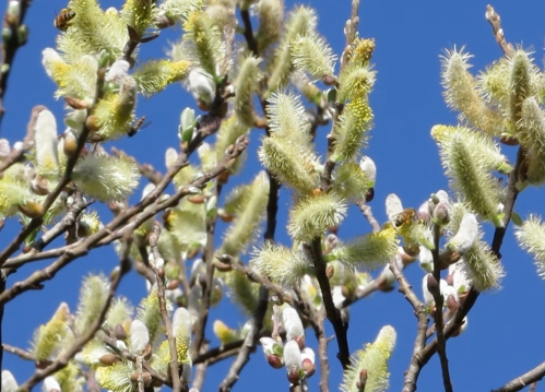 February 19...bees enjoy the willow blossoms along with robber flies and other pollinators.