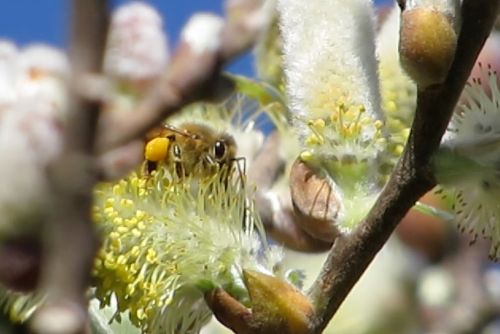 This bee has been busy.  She's already got a load of willow pollen.