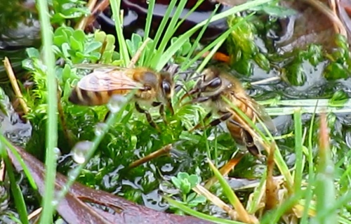 February 3...this photo is taken from a video when it was raining, but it still shows bees that are visiting the moss even though the water is covering most of it.