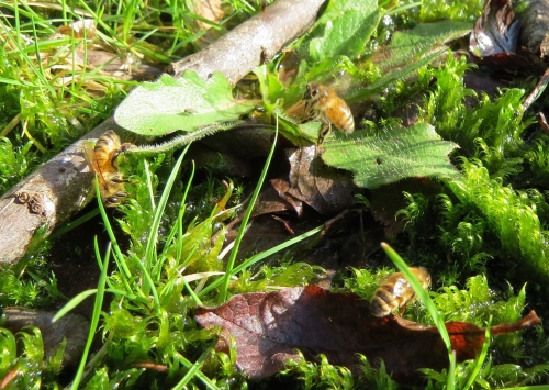 January 22...Three bees spotted on this patch of moss.