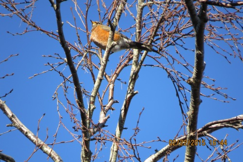 A fat robin sits high in the branches.