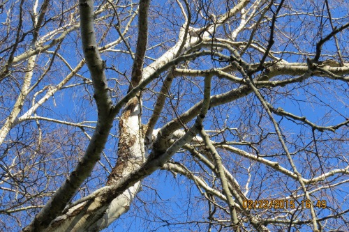 Here's a better look at the white bark.