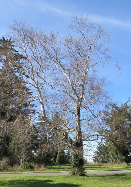 The bare bones of the tree. I'm wondering if it's an alder.  I guess I'll find out when the leaves make their appearance.