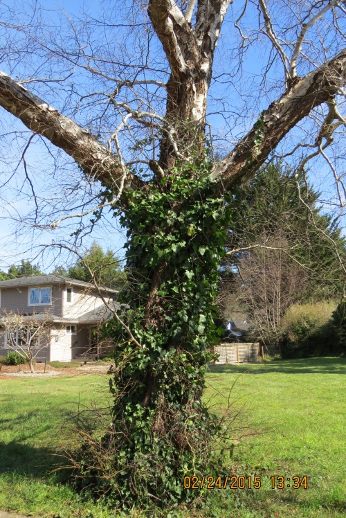 My apologies to everyone in the UK, but this English Ivy has got to go...I hope by this time next month I will have removed it.  I've got to get permission from both owners first.  It happens I know both of them.  They will probably be very happy to have someone take care of it for them.