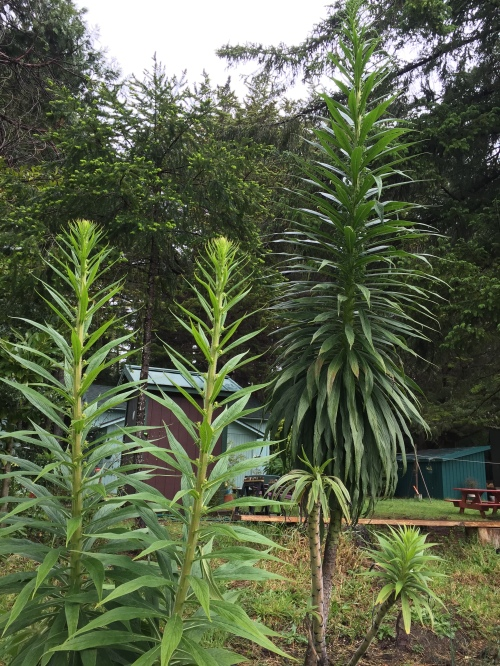 The transplanted echiums shot up recently, 8 - 10 feet.  I transplanted them in November 2013.