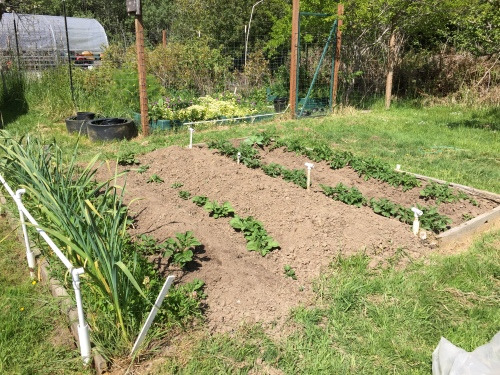 The potatoes have been weeded and hilled up.  An interesting observation...the two rows on the right were planted a month before the two rows on the left.