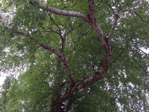 May 13, 2015...Looking upward into the umbrella, you can see the white bark limbs...