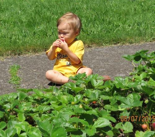 This one year old is intent on one thing only...getting the sweetness out of the strawberry.