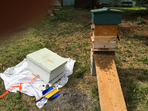 I replaced the bait hive with Steve's Langstroth hive, then tried sweeping them into a dust pan and dropping it into the Lang...not so fast, they break for the Warre hive.