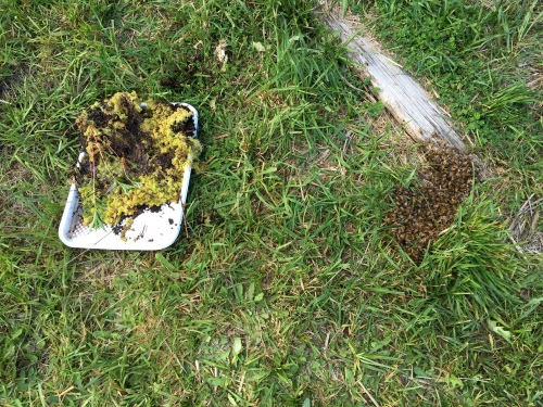 Then the bees move over here about 5 feet.  I set up some moss water...