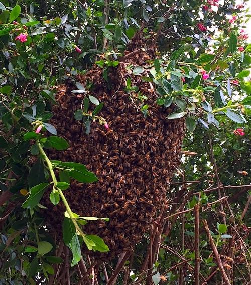 Big Swarm in Escallonia hedge.