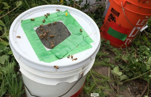 After another catch in the sack, this bucket was full.  The rest of the bees were clinging to the branch, so I tried out my homemade bee vac for the first time...