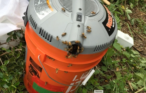 Even more bees in the bee vac which I recently built using a vacuum made for a 5 gallon bucket lid.  I used a dimmer switch (as seen to the right of the bucket) so I could adjust the suction to avoid harming the bees.  I'm happy to report that no dead bees were found.  The dimmer switch worked perfectly.  Plans were found at beesource.com .