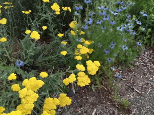 The blue flowers are Black Cumin.