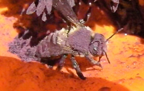 A frame from the video shows the bee covered with purple pollen.
