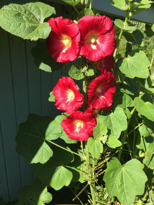 Planted from seed last year, these Hollyhocks have survived the deer twice.   We're so happy to finally see the blooms, but we've yet to see the bees on them.