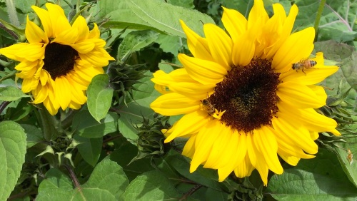 July 3...The dwarf sunflowers are open and attracting bees already.  It's older siblings can only watch with envy.