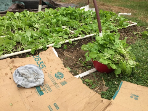 We'll be eating turnip greens for a few days.