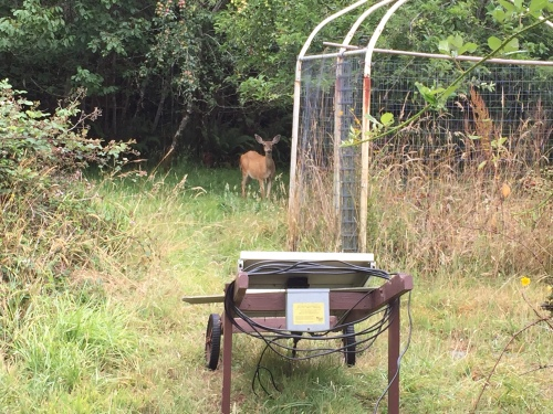 This yearling deer is waiting for me to leave 'her' garden.